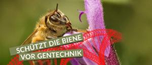 Biene und Gentechnik!